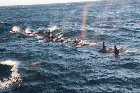 Killer whales, following a fishing boat in Héraðsflói bay, Northeast Iceland.