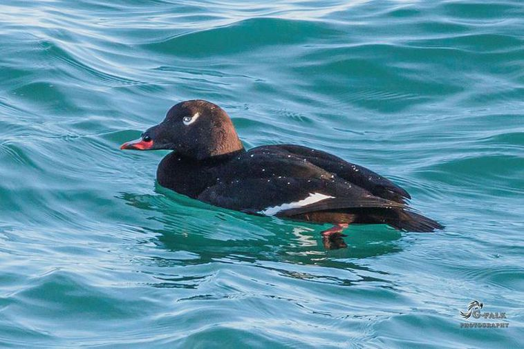 The Icelandic name for a white-winged scoter is Kolönd.