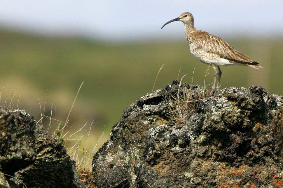 Spóinn er íslenskur farfugl og vaðfugl. Hann er langdrægur og ...