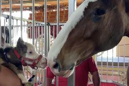 Peabody er minnsti hestur í heimi og afar krúttlegur.