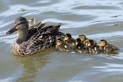 Ducklngs on Lake Tjörnin yesterday.