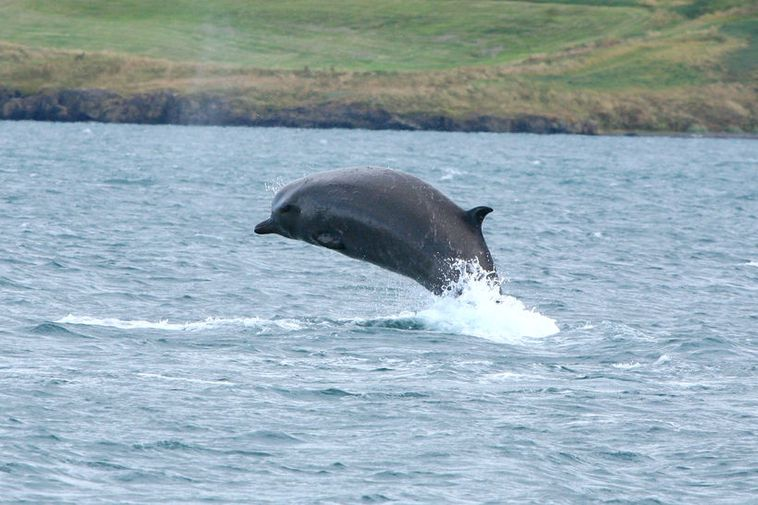 One of the bottlenose whales spotted in Akureyri, North Iceland.