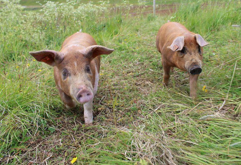 Social media stars Gná (on the right) and Glóð (left).
