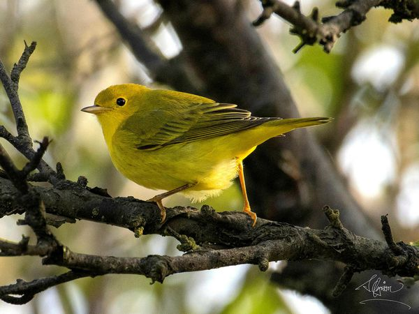 Yellow warbler, during a stopover in Iceland.