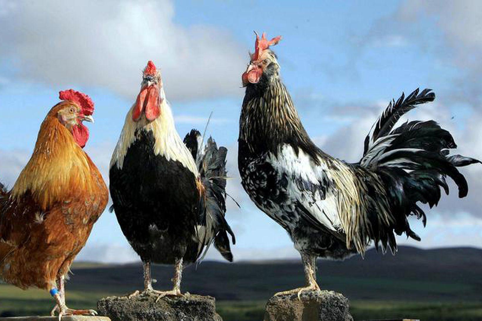 Tignarlegir hanar.