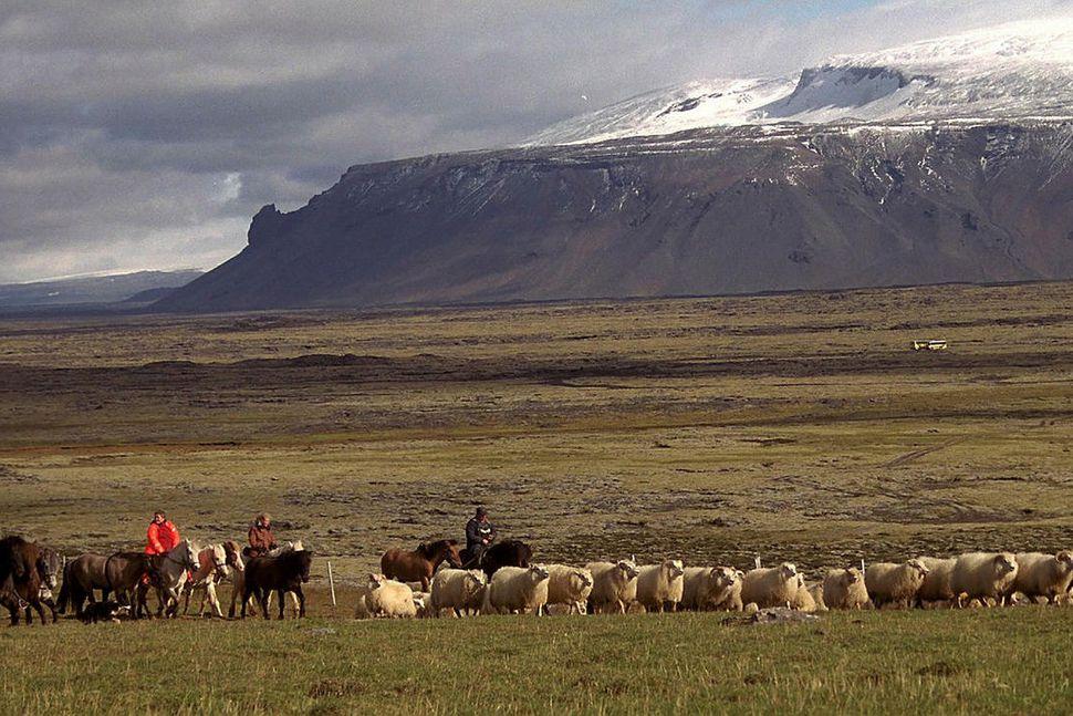 Leitarmenn reka fé af Arnarvatnsheiðinni til Fljótstunguréttar.