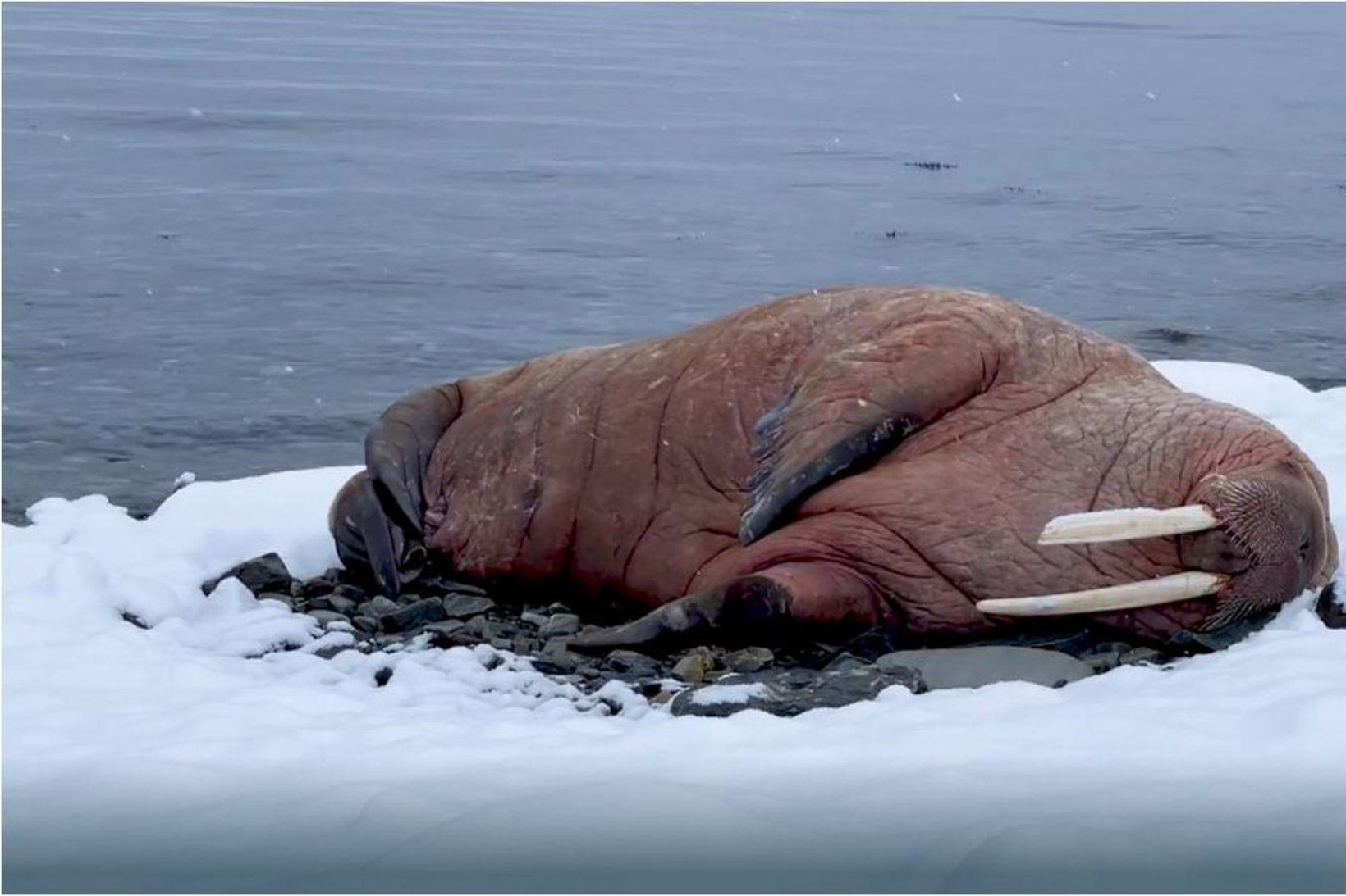 Rostungurinn liggur í makindum sínum við Repparfjorden í Hammerfest. Karldýrið …