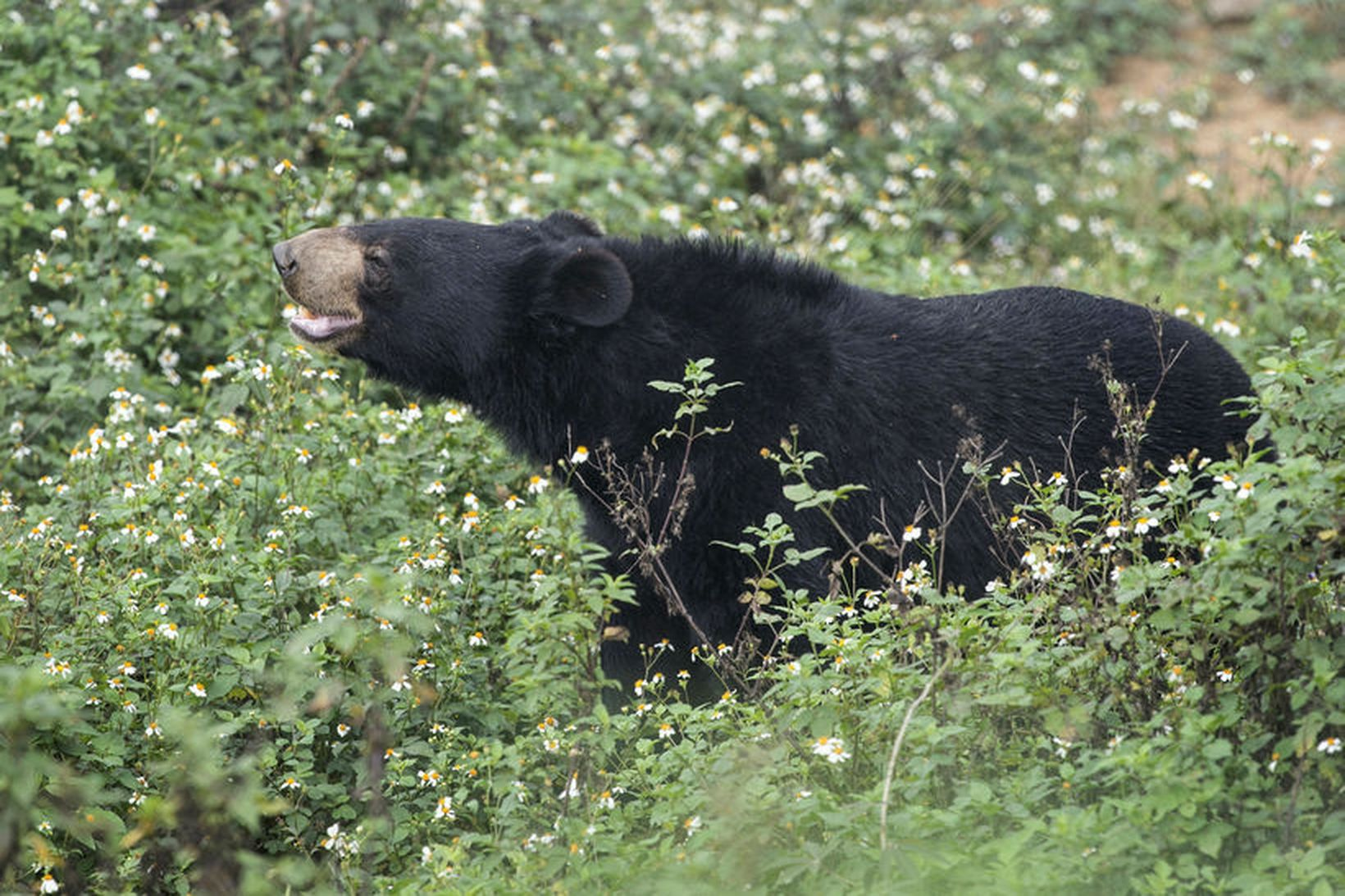 Svartbjörn.