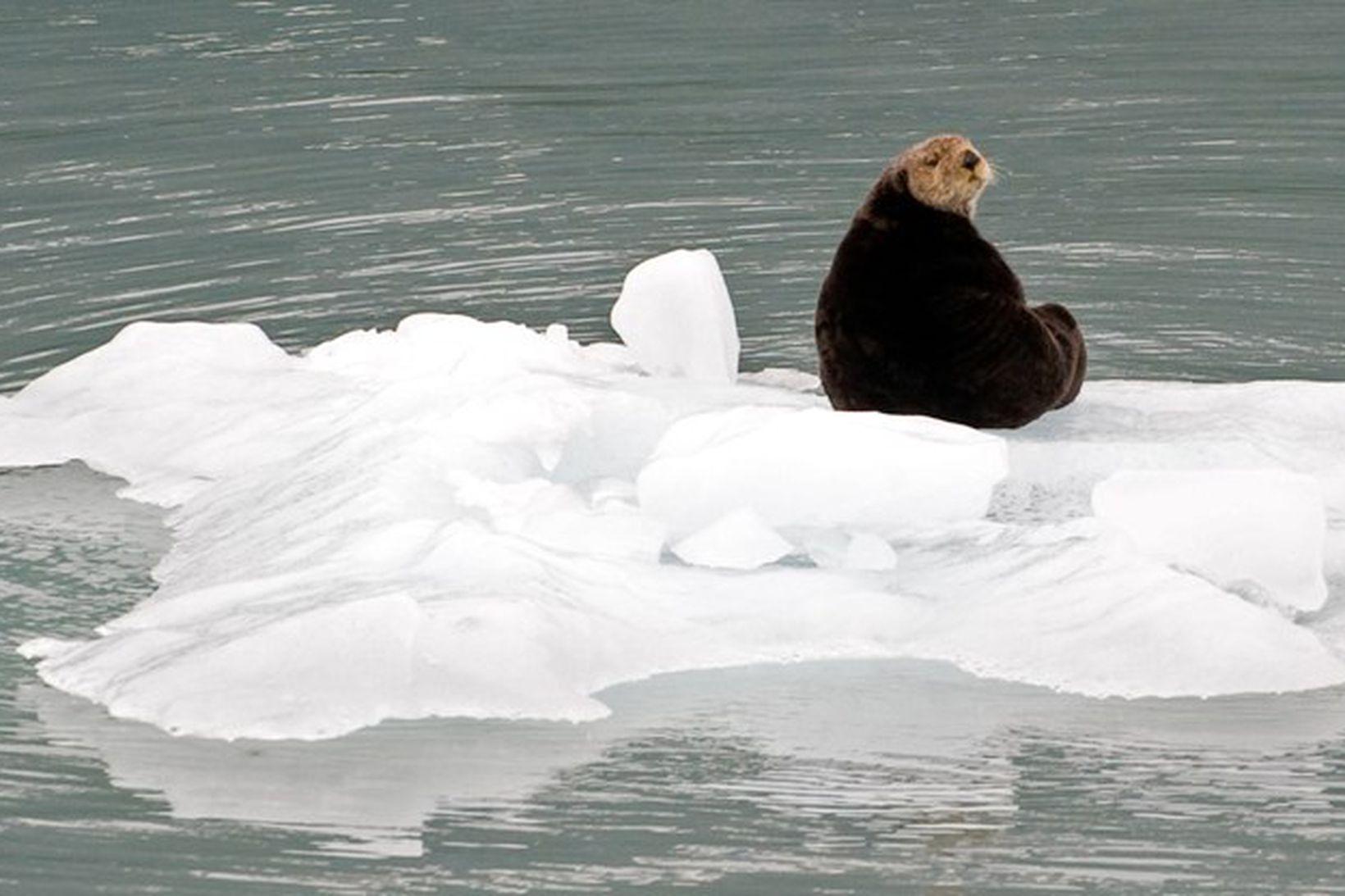 Otur situr á ísjaka sem losnaðir úr jökli í Alaska …