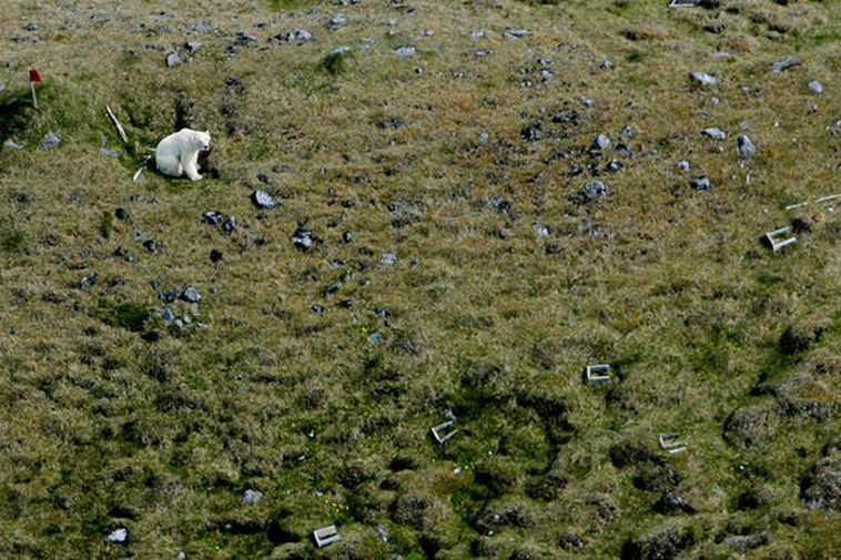 A photo of a polar bear spotted in Skagafjörður, North Iceland in 2016. The polar ...