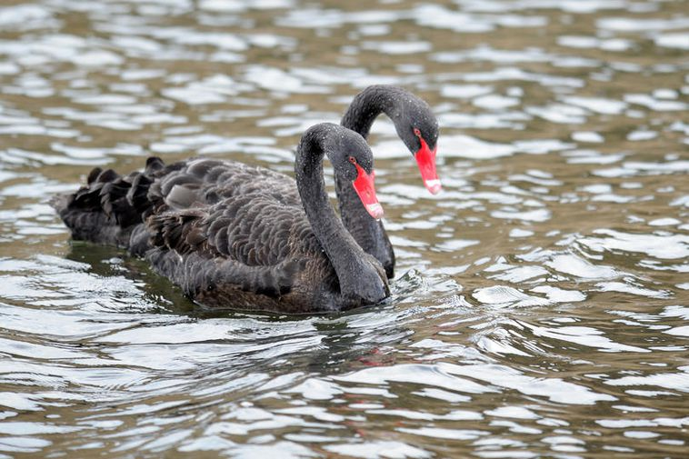 These striking black swans were photographed near Dyrhólaey, south Iceland.