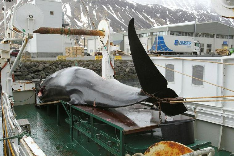 A minke whale being landed in Iceland.