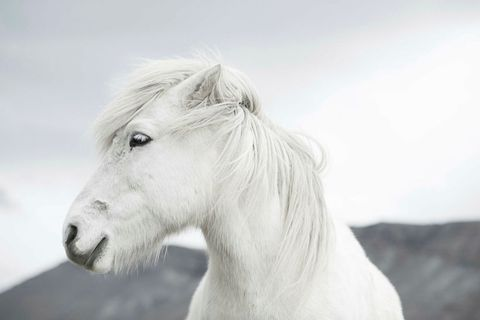 Laiz is working on a photography book on Icelandic horses.