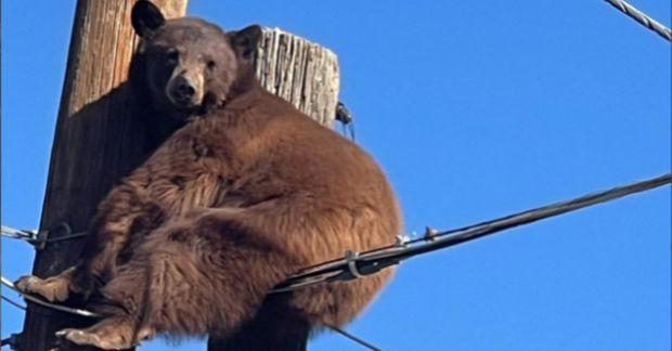 Björn rólegur á rafmagnsstaur