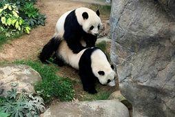 Pandabirnirnir Ying Ying og Le Le náðu loksins að makast í vikunni í dýragarðinum Ocean …