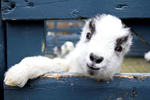 There are eight baby goats already and more to come.