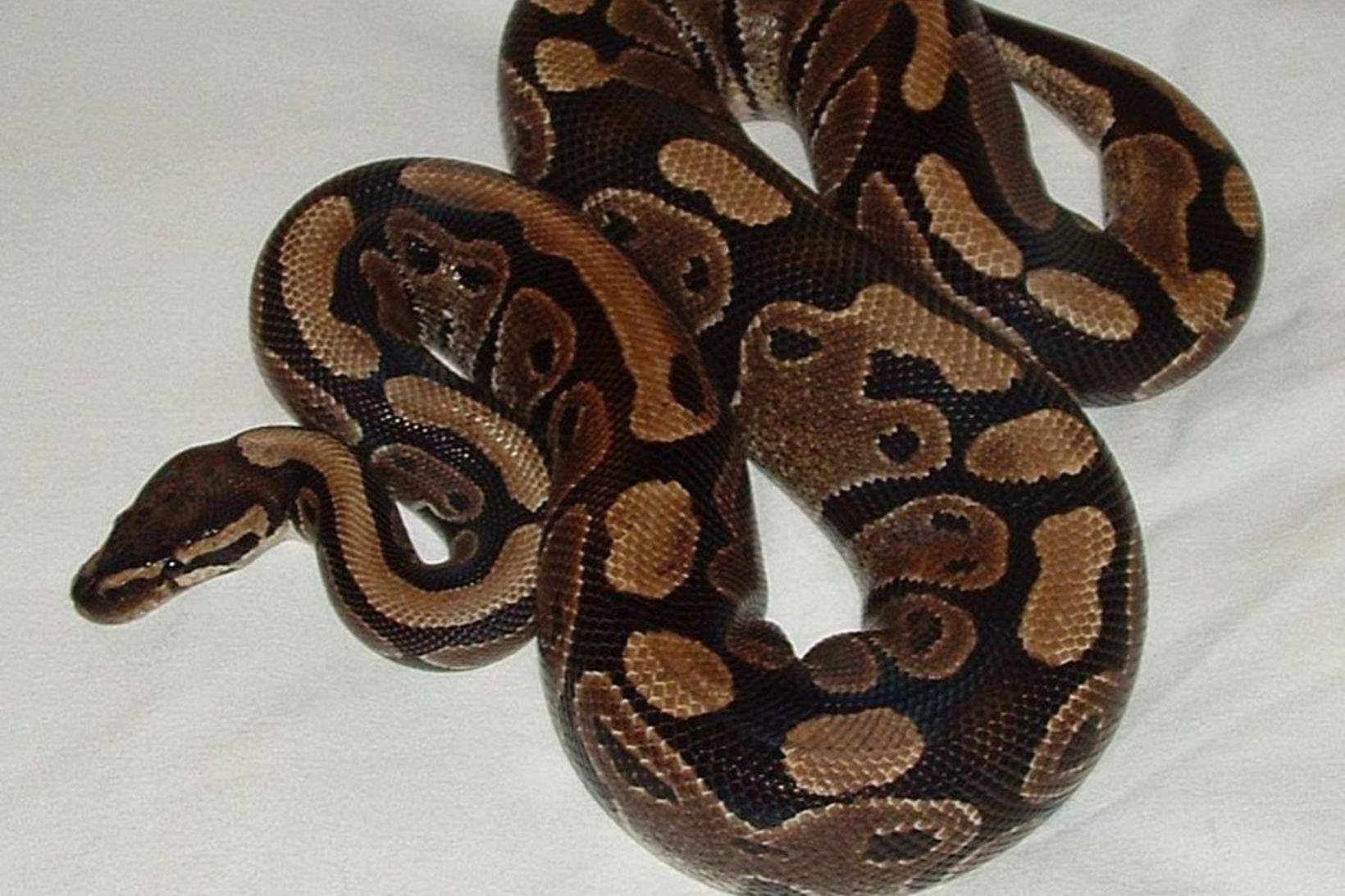 Kyrkislanga (Python regius).