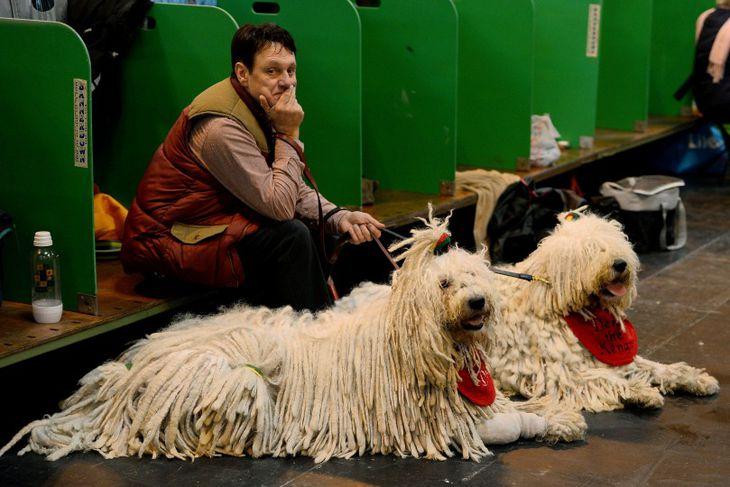 Hundar af tegundinni Komondor á Crufts-hundasýningunni.