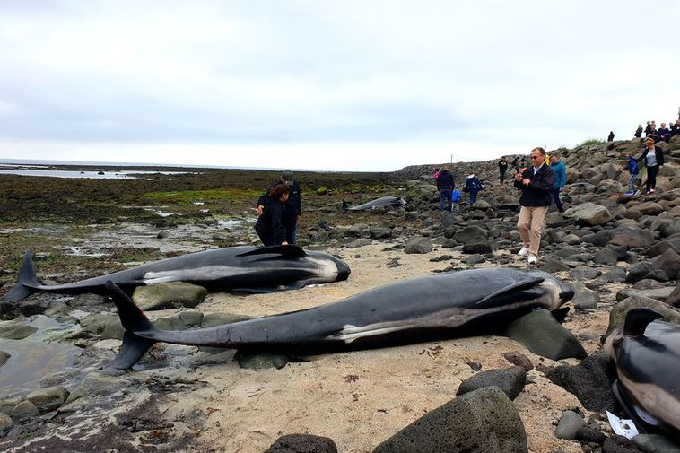 Beached pilot whales.