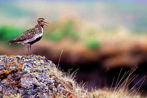 Golden plover is one of Iceland's most beloved birds, featuring in numbers of songs and folk tales.