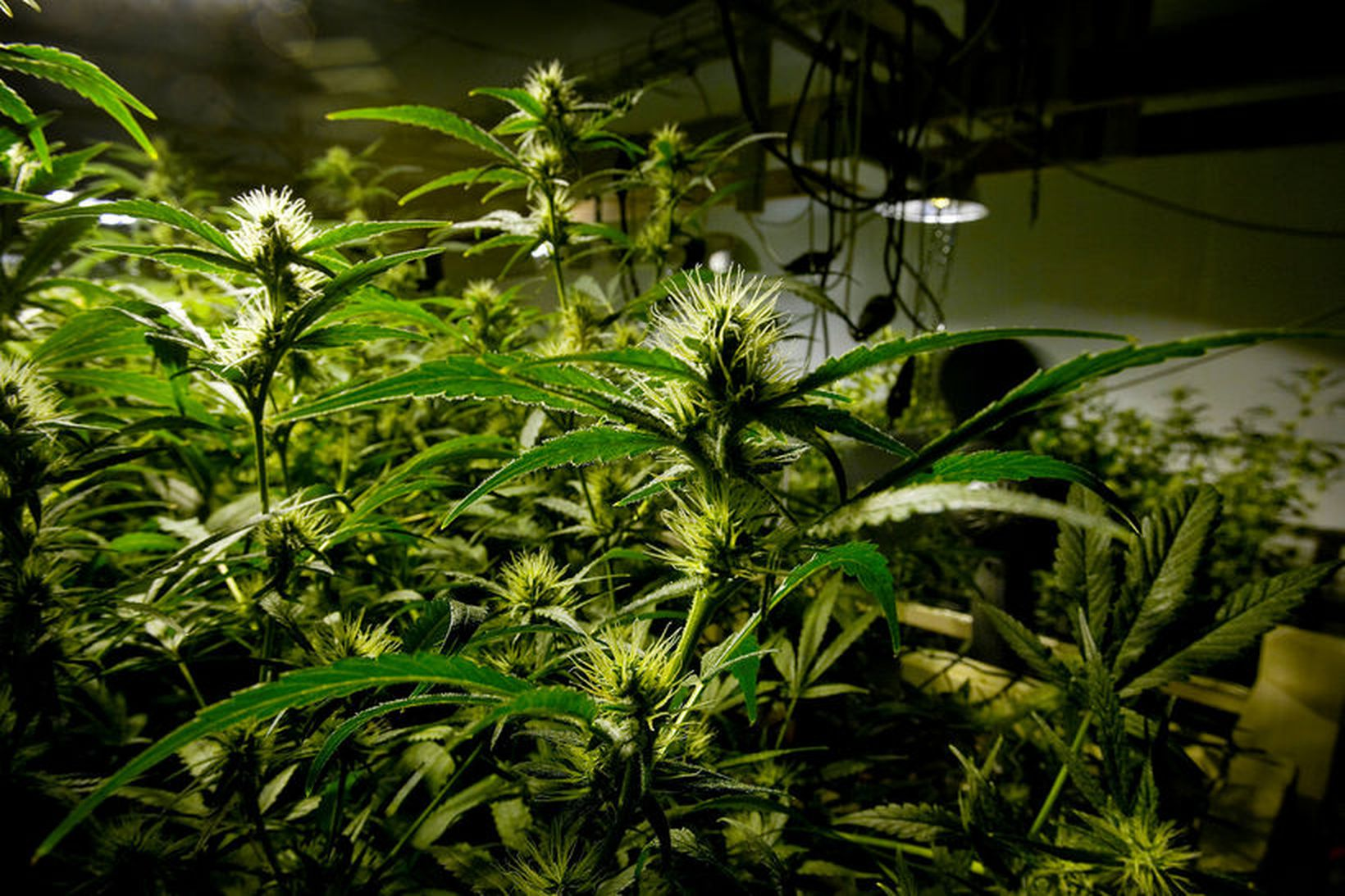Kannabisplöntur. Mynd úr safni.