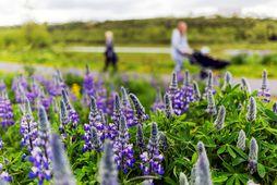 Illgresiseyðirinn Roundup hefur m.a. verið notaður á undanförnum árum til þess að eyða lúpínu í …