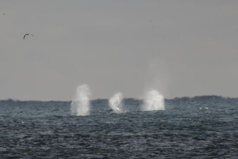 The humpback whales could be seen spraying seawater from their blowholes.