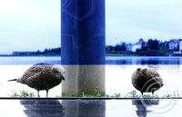 Forvitnir fuglar