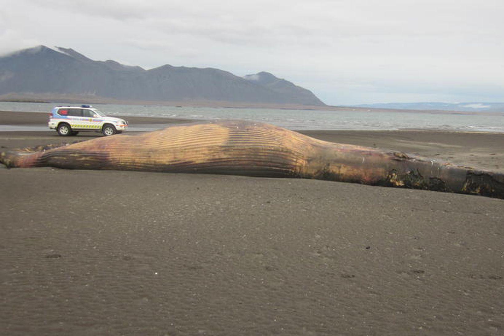 Hvalshræið á Mýrum. Hvalurinn er 18 metra langur.