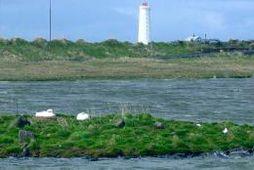 Á myndinni má sjá Svandísi og maka hennar á sínu venjulega hreiðurstæði.