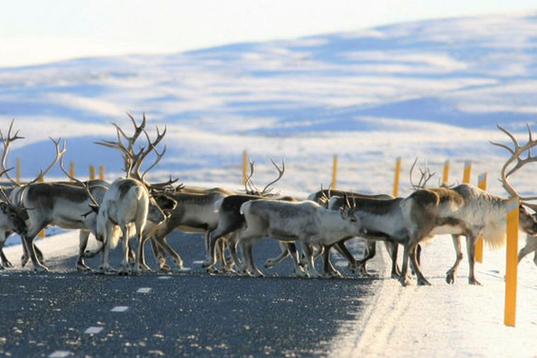 Reindeer descending onto roads in the lowlands can create a traffic hazard.