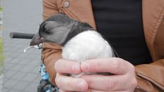 Puffling found in Reykjavik city centre