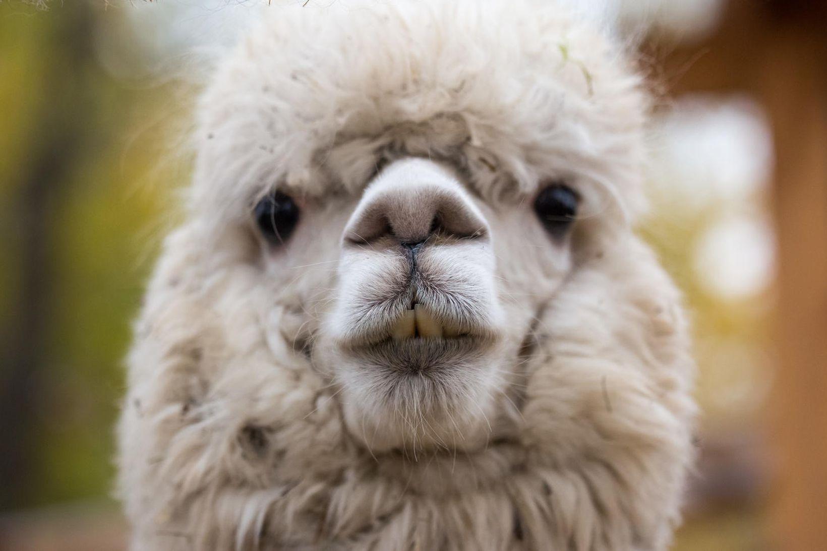 Alpaca eru krúttleg dýr. Ull þeirra er hlý, sterk og …