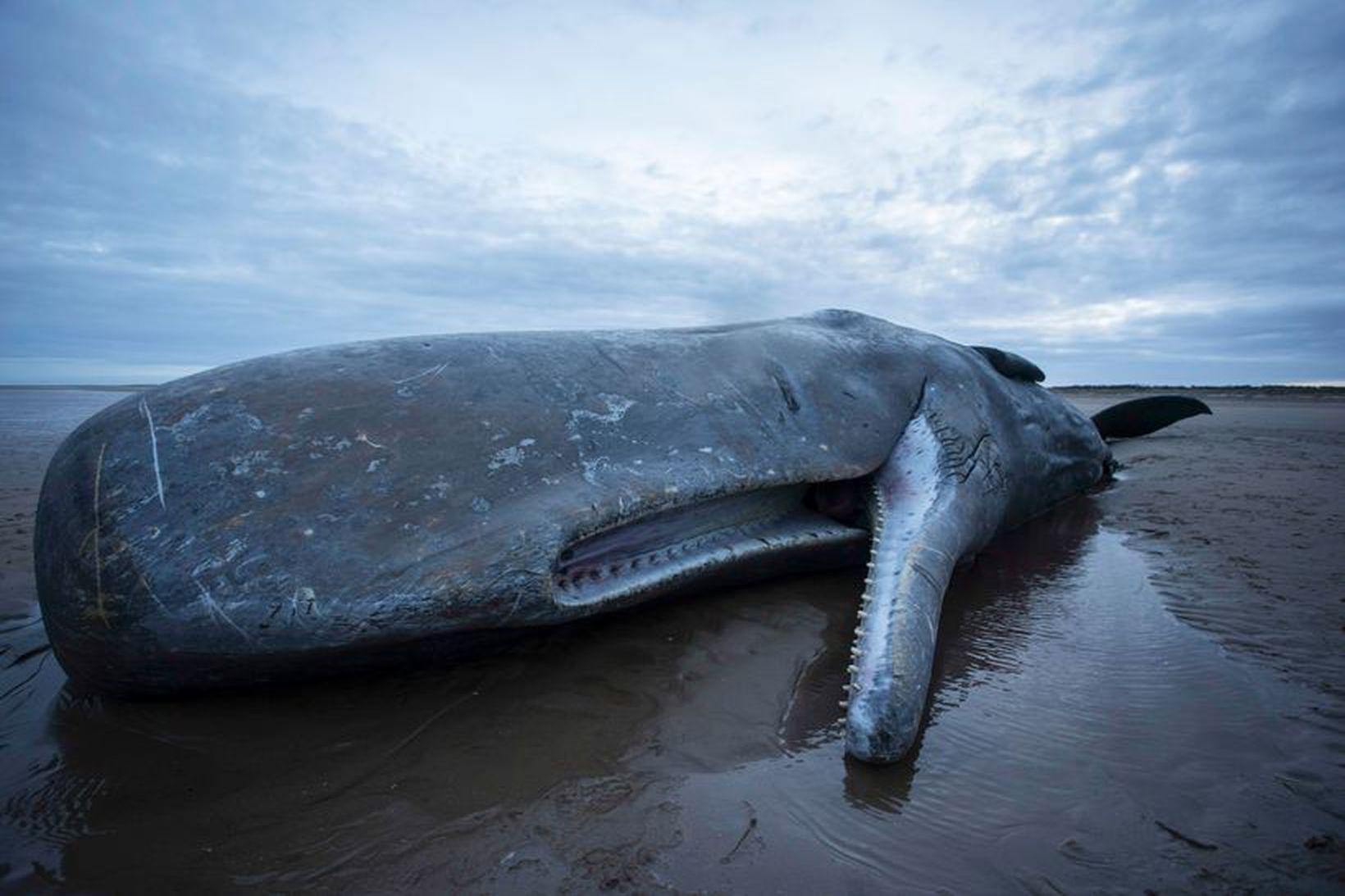 Búrhvalur sést hér strandaður á Englandi. Ætli hvalambur hafi verið …