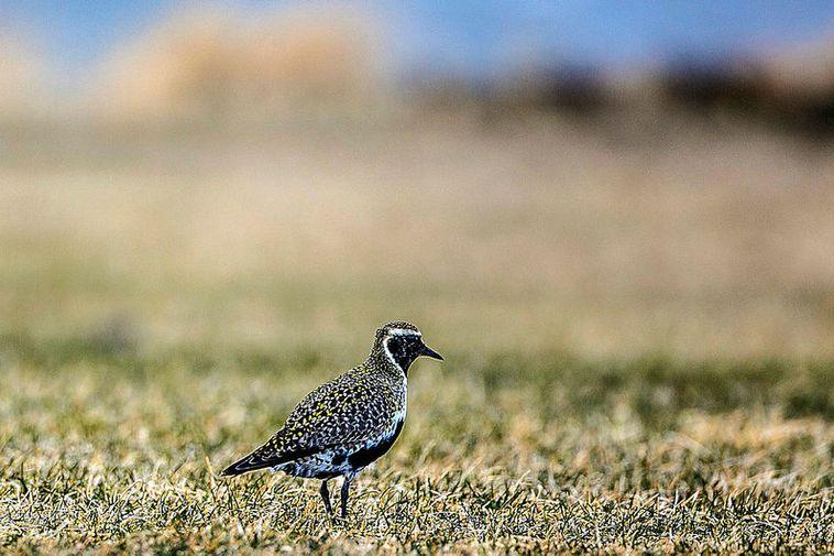 The European golden plover has made a safe landing.