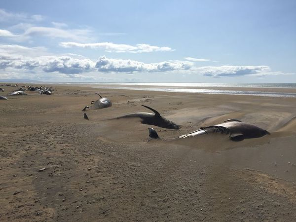 Pilot whales on Löngufjörur beach.