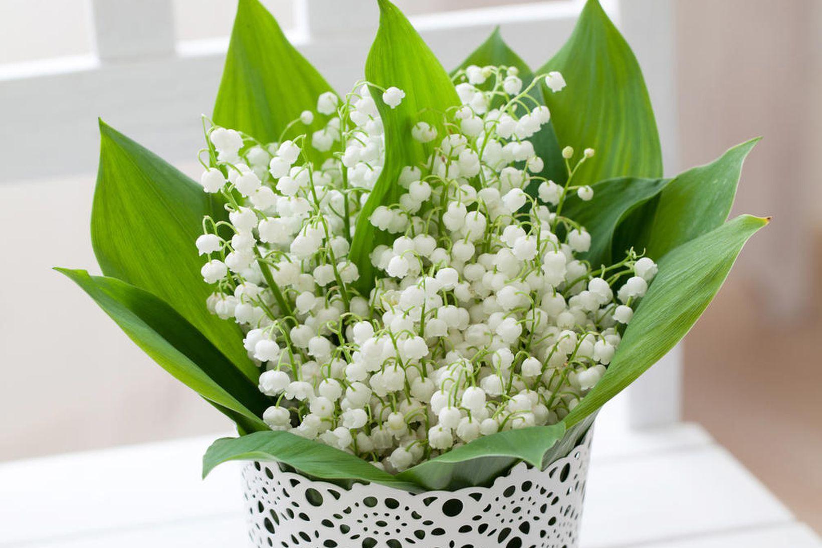 Liljur vallarins eru hugguleg blóm sem eru vinsæl í garðinn.