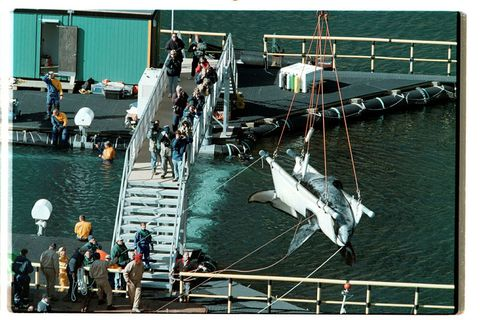 Keiko is the most famous whale to reside in the Westman Islands. He died one year after being released from captivity.