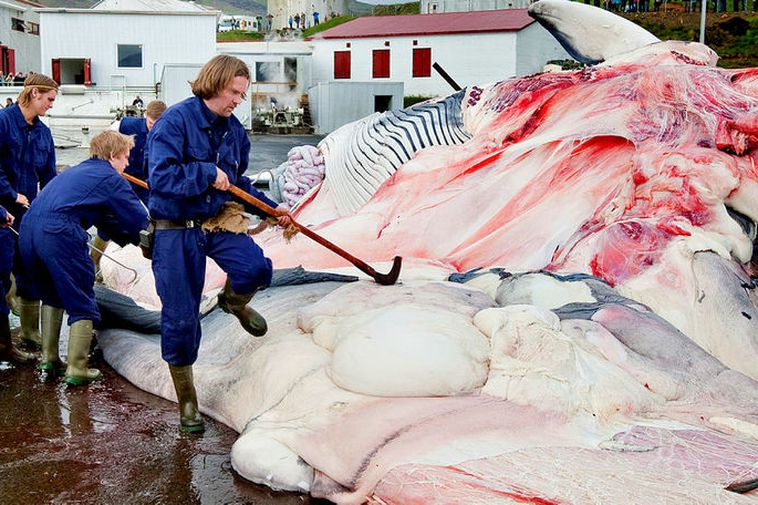 A whale being cut up and prepared at the whaling station in Hvalfjörður.