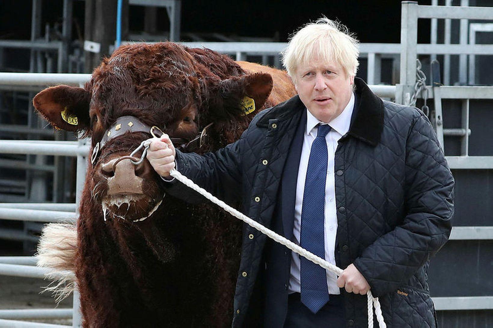 Boris Johnson forsætisráðherra Bretlands í dag, í heimsókn á nautgripabúi …