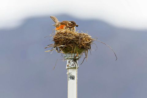The redwing in its nest, on top of the flagpole.