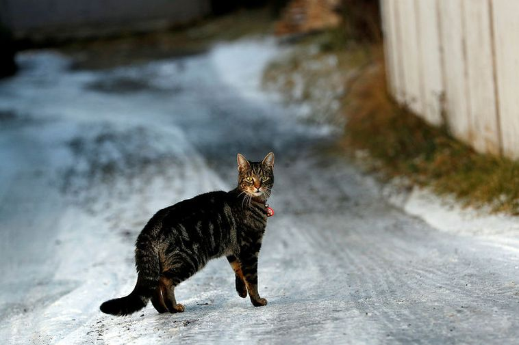 A cat braves the cold in Reykjavik.