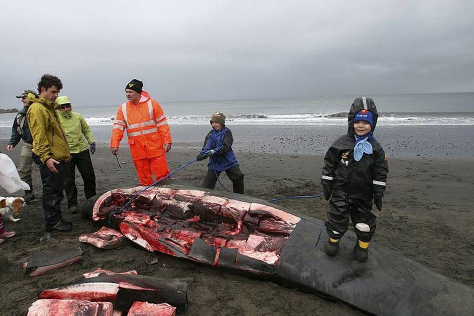 Grindhvalir skornir á Snæfellsnesi um helgina.