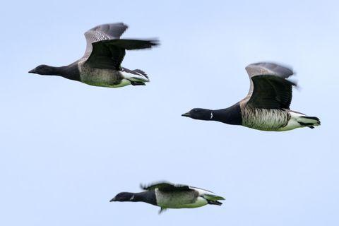 Brants, flying over Seltjarnarnes, near Reykjavík.