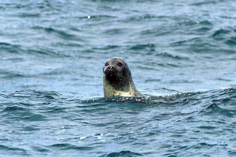 A seal in the ocean off the North coast of Iceland.