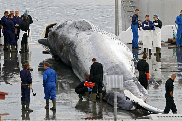 A fin whale at the whaling station in Hvalfjörður.