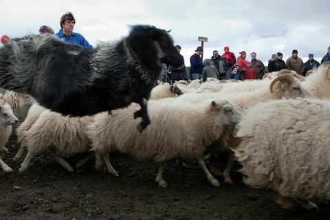 A flying sheep. Click on the picture to better view this skilled creature.