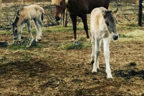 The twin foals, in the company of one of the surrogate mares, Rauðka from Barð.