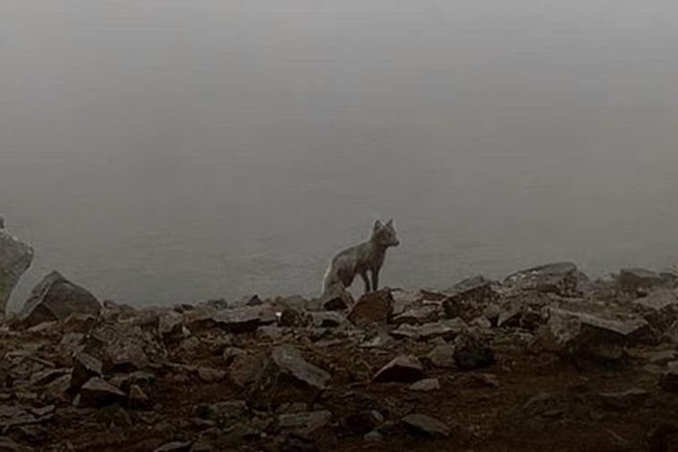 The fox, inspecting the eruption site.