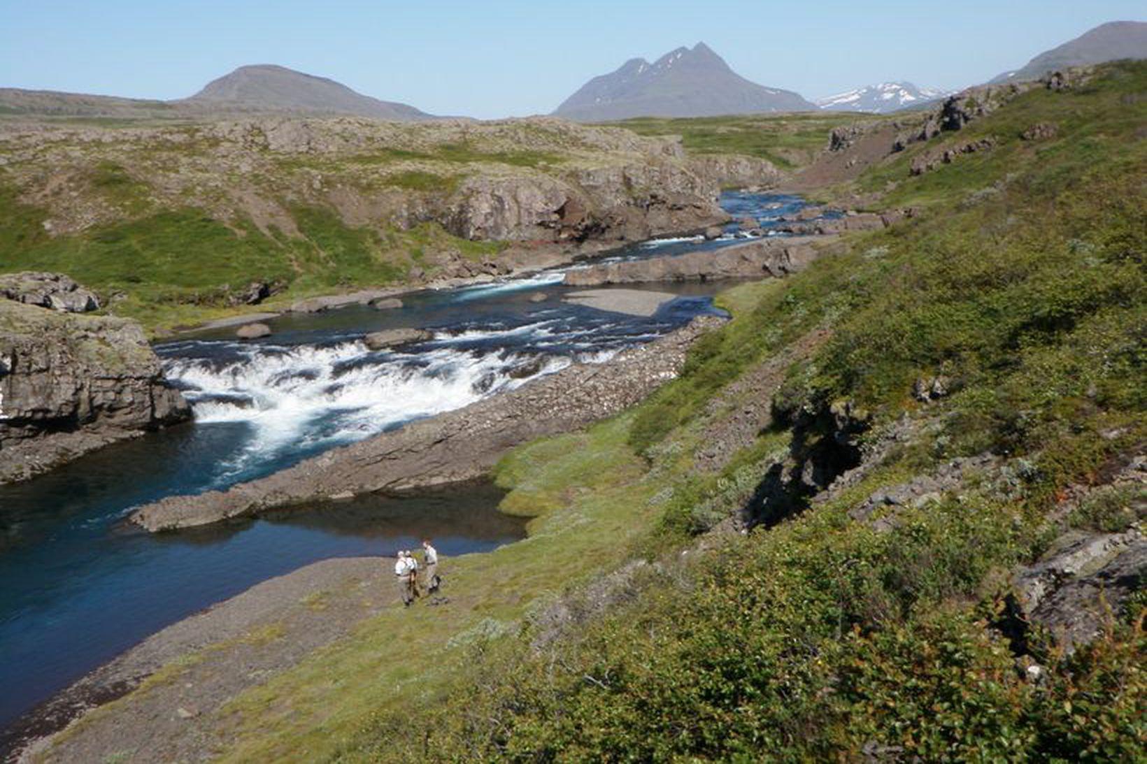 Breiðdalsá hefur engan náttúrulegan laxastofn.